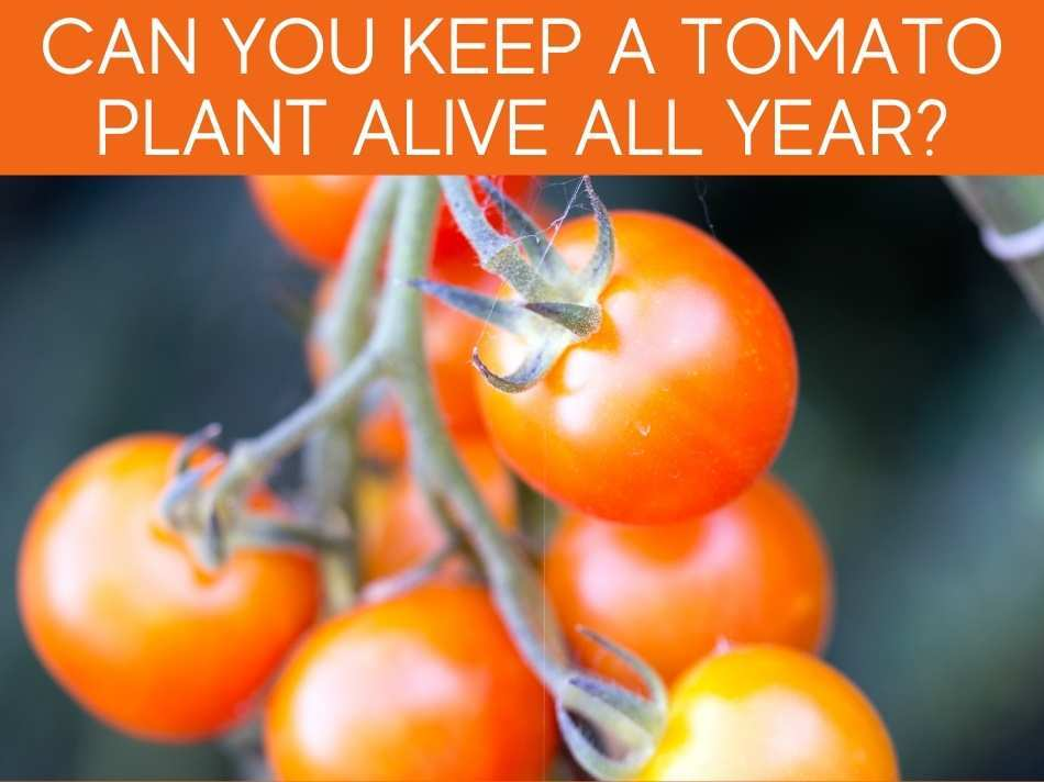 Can You Keep A Tomato Plant Alive All Year?
