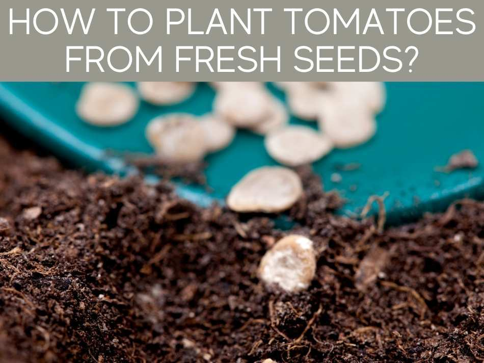How To Plant Tomatoes From Fresh Seeds?