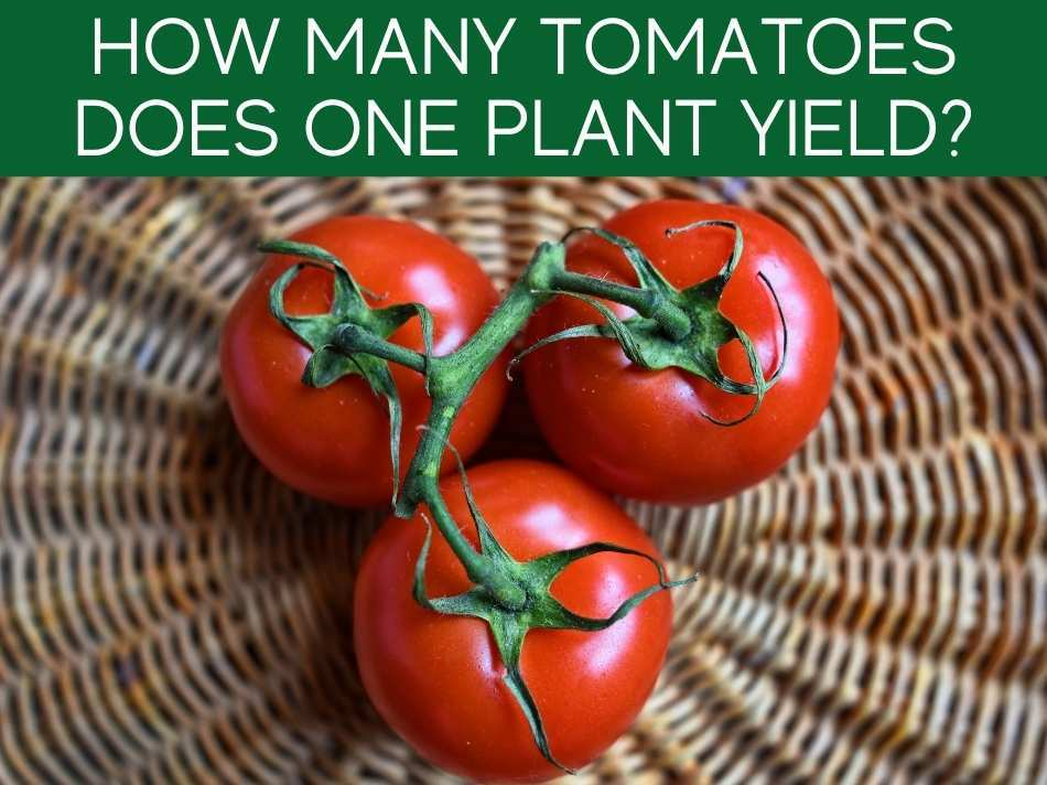 How Many Tomatoes Does One Plant Yield?