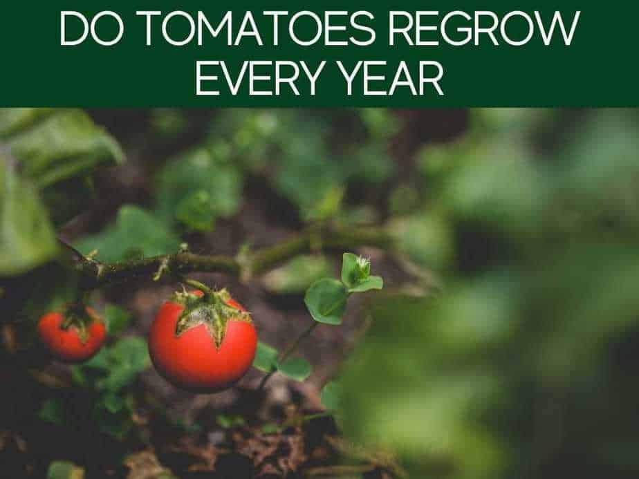 Do Tomatoes Regrow Every Year