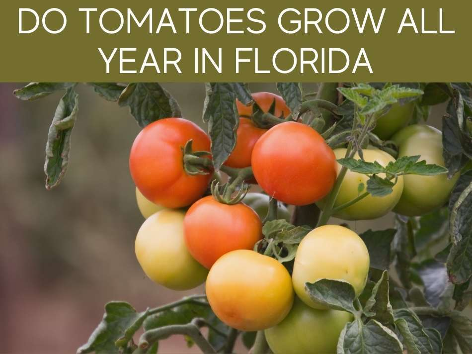 Do Tomatoes Grow All Year In Florida?