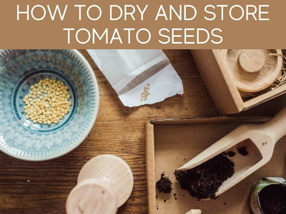 How To Dry And Store Tomato Seeds