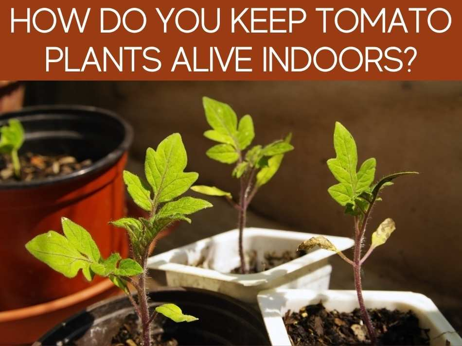 How Do You Keep Tomato Plants Alive Indoors?