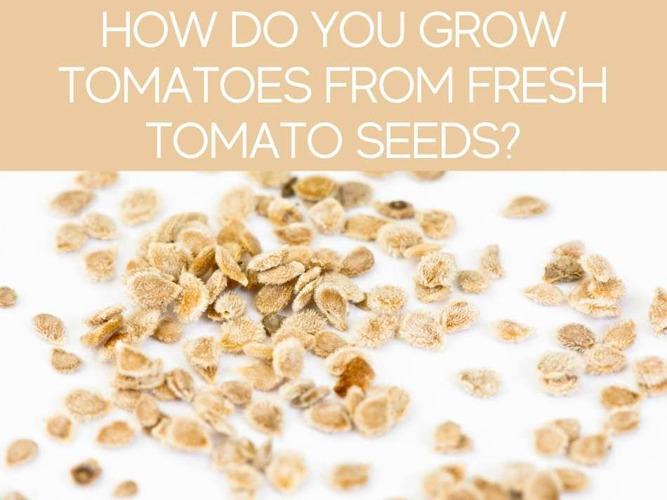 How Do You Grow Tomatoes From Fresh Tomato Seeds?