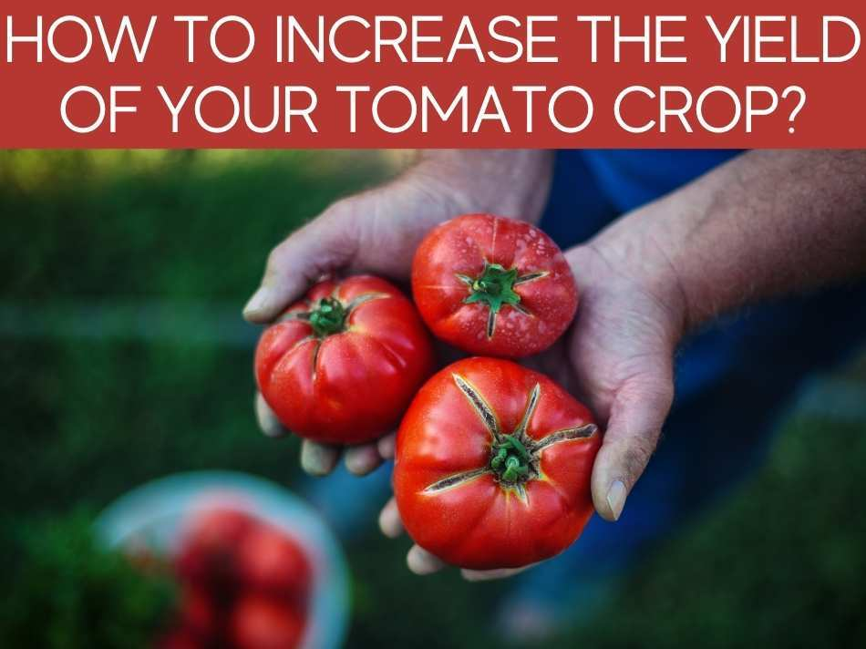 How To Increase The Yield Of Your Tomato Crop?