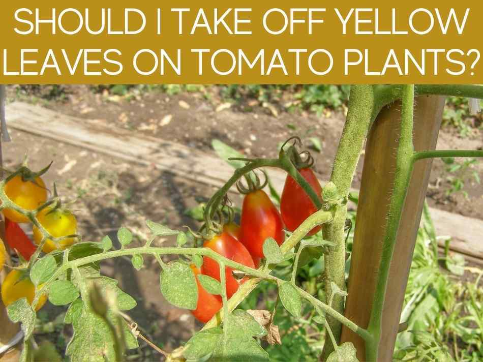 Should I Take Off Yellow Leaves On Tomato Plants?