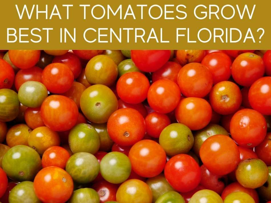 What Tomatoes Grow Best In Central Florida?
