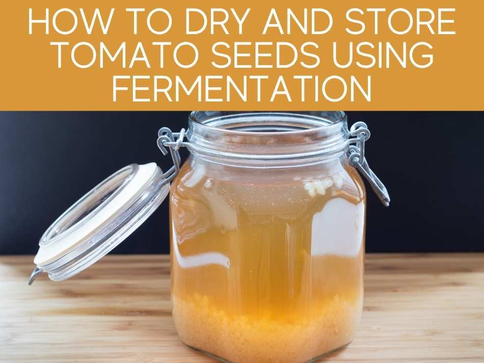 How To Dry And Store Tomato Seeds Using Fermentation