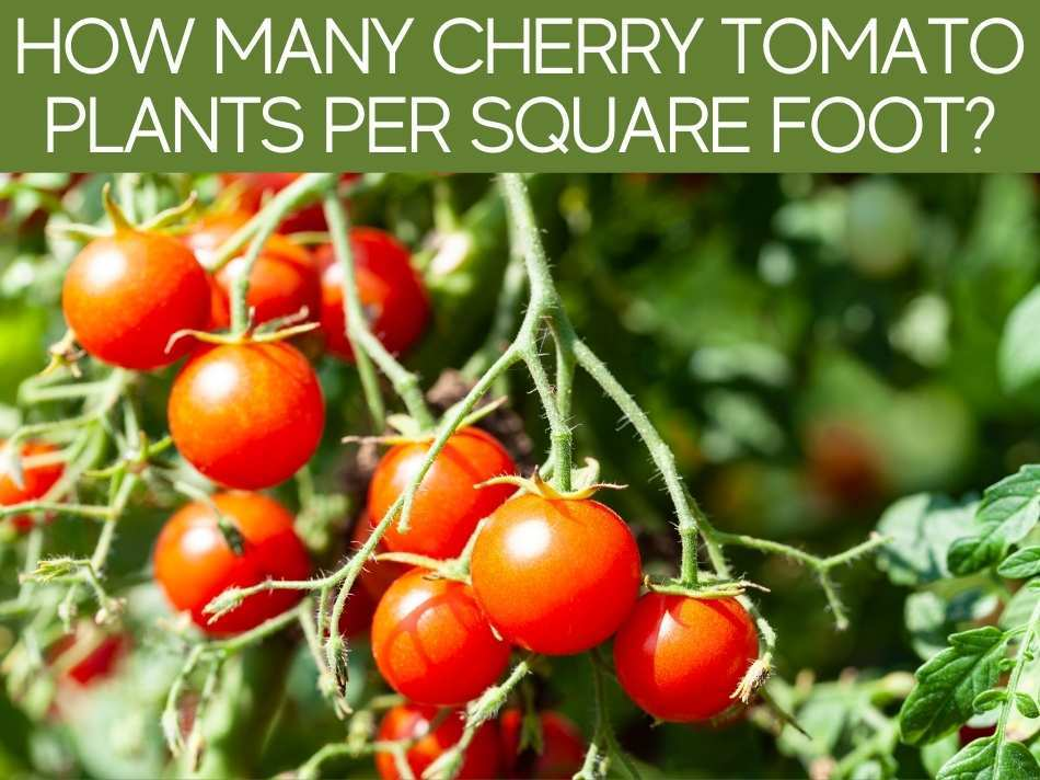 How Many Cherry Tomato Plants Per Square Foot?