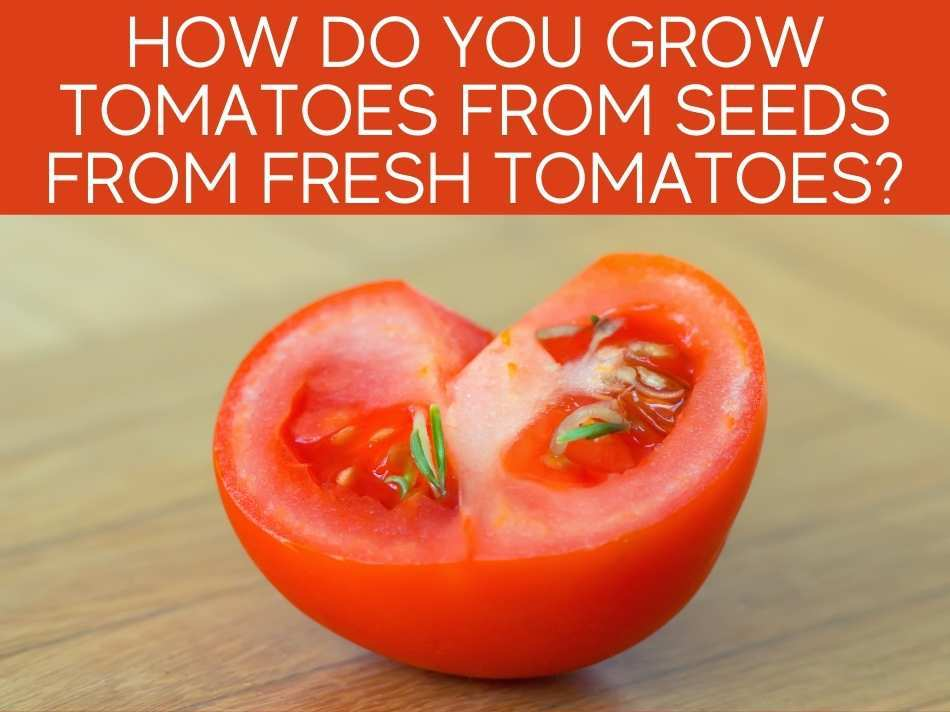 How Do You Grow Tomatoes From Seeds From Fresh Tomatoes?
