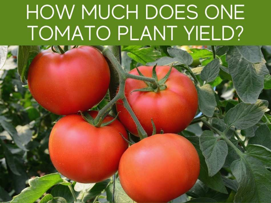 How Much Does One Tomato Plant Yield?
