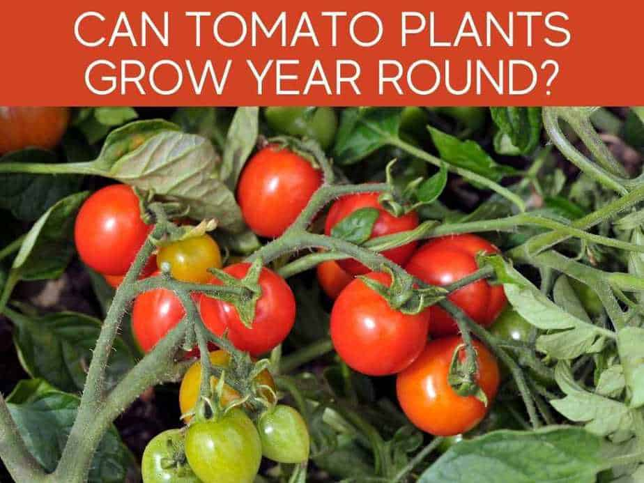 Can Tomato Plants Grow Year Round?