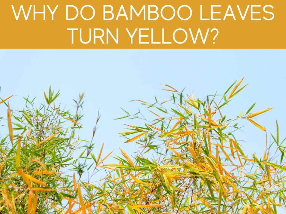 Why Do Bamboo Leaves Turn Yellow?