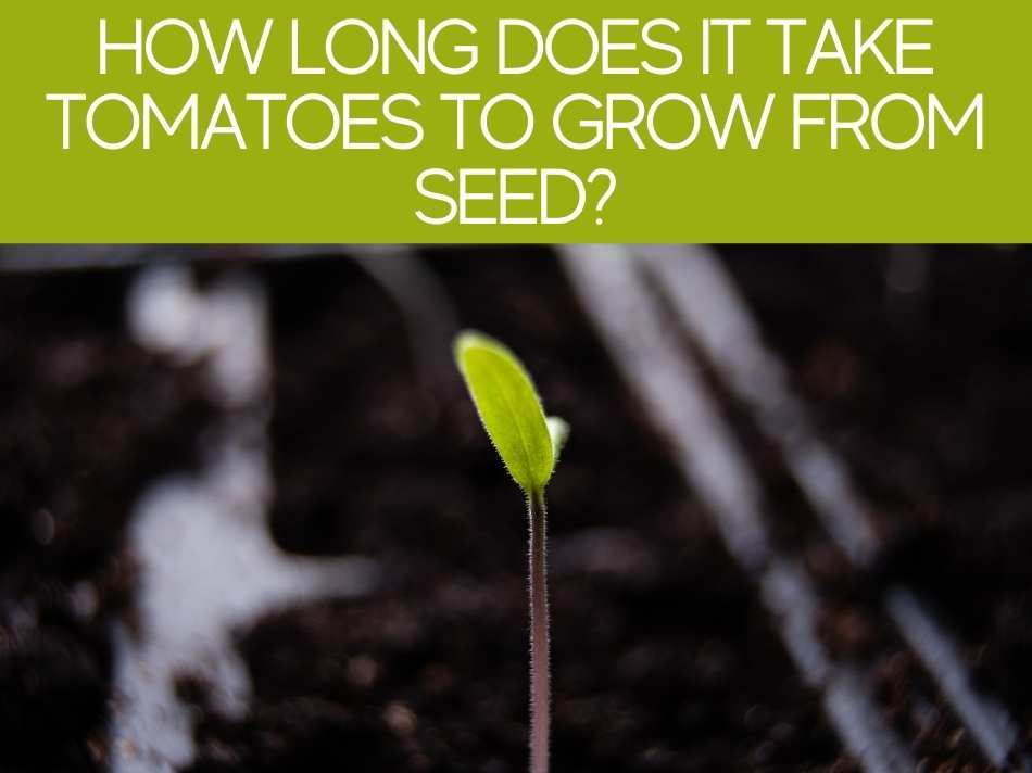 How Long Does It Take Tomatoes To Grow From Seed?
