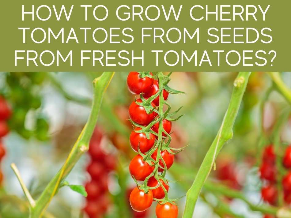 How To Grow Cherry Tomatoes From Seeds From Fresh Tomatoes?