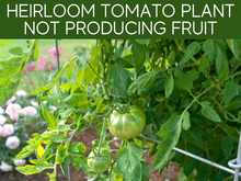 Heirloom Tomato Plant Not Producing Fruit