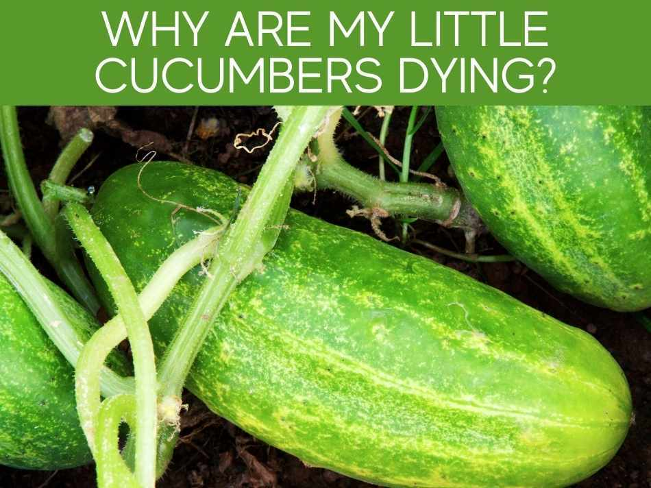 Why Are My Little Cucumbers Dying?