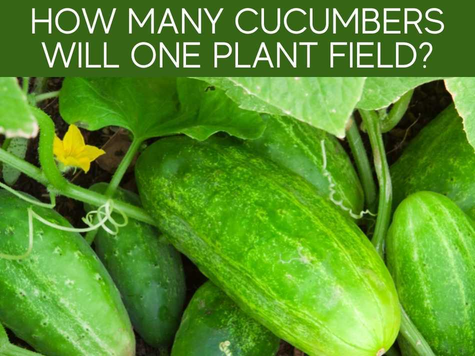 How Many Cucumbers Will One Plant Field?