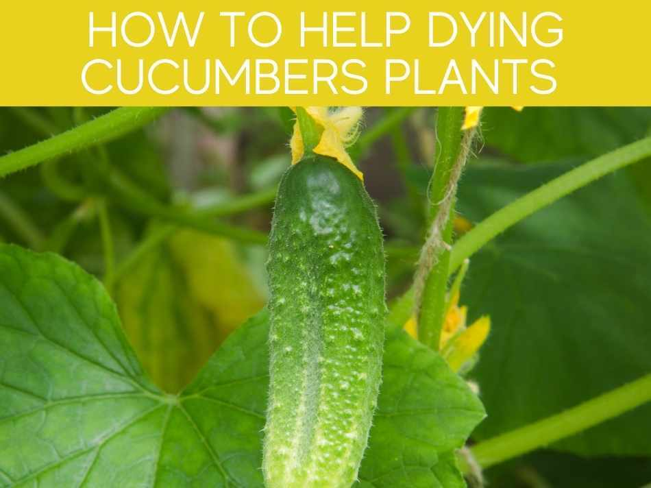 How To Help Dying Cucumber Plants