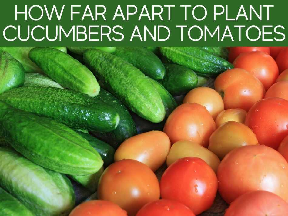 How Far Apart To Plant Cucumbers And Tomatoes