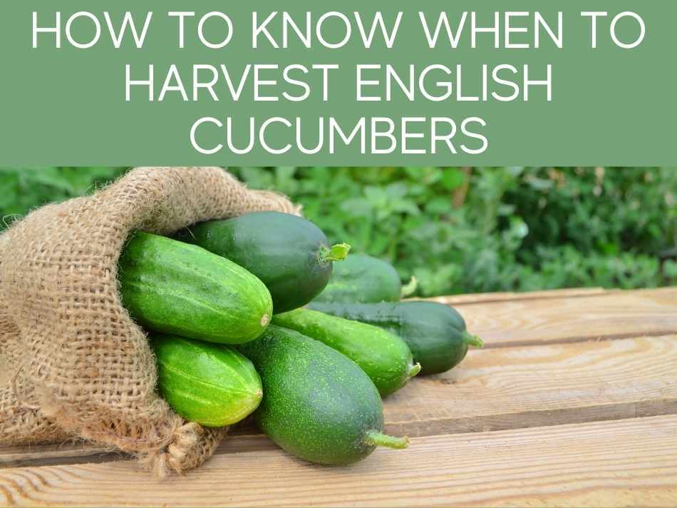 How To Know When To Harvest English Cucumbers