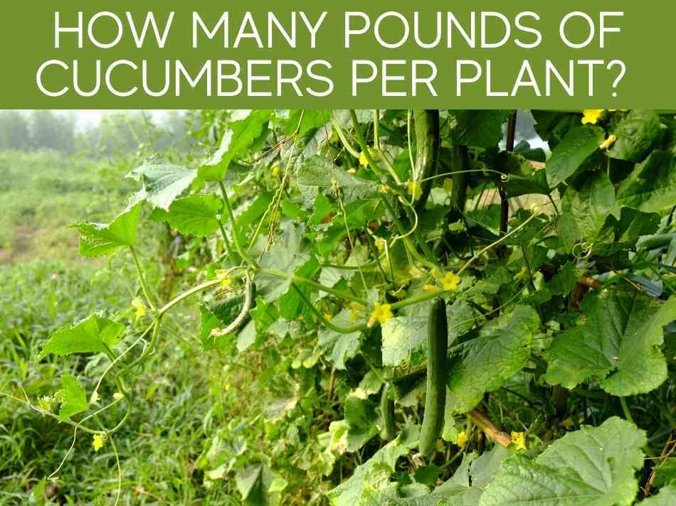 How Many Pounds Of Cucumbers Per Plant?