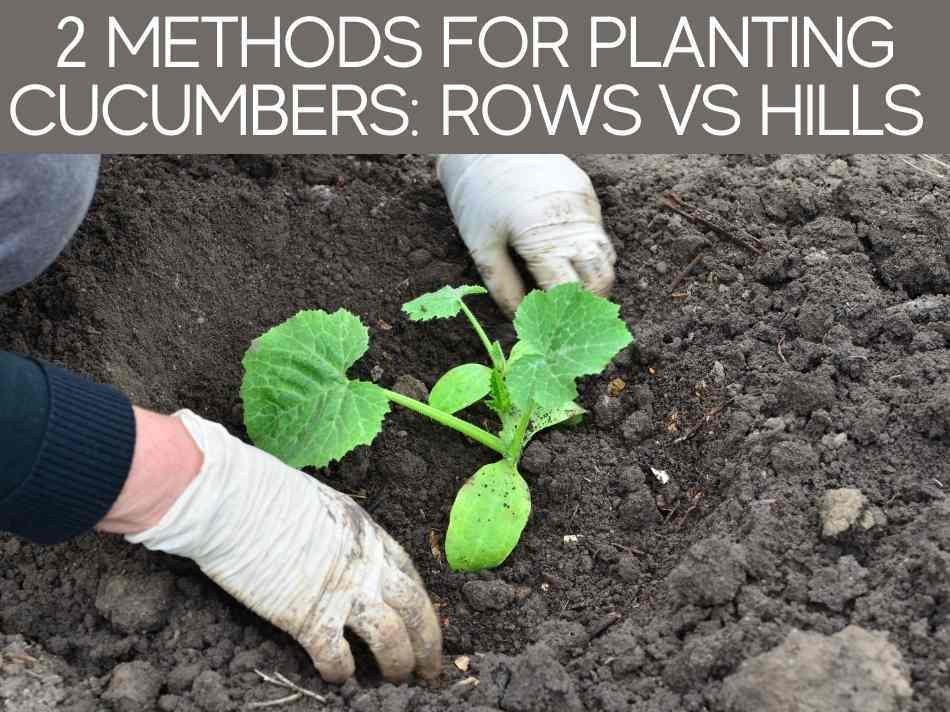 2 Methods For Planting Cucumbers: Rows Vs Hills