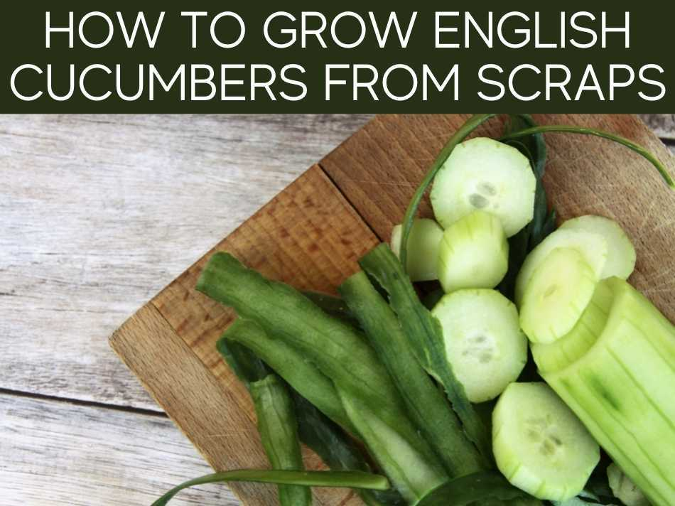 How To Grow English Cucumbers From Scratch