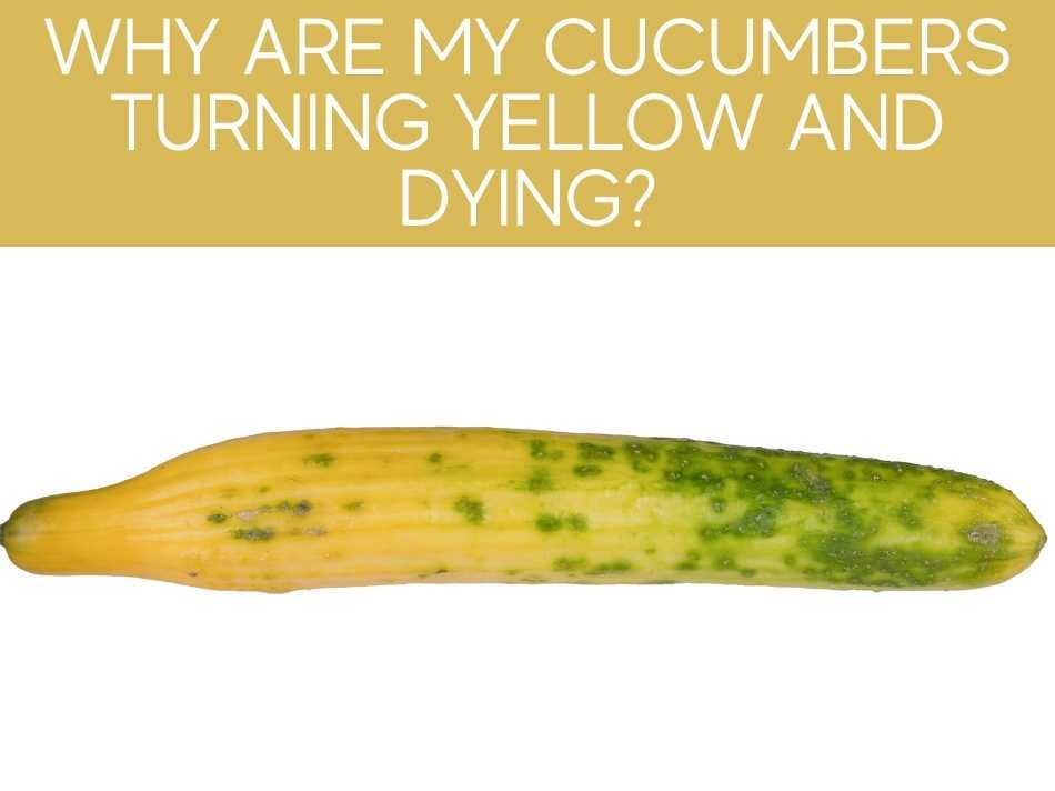 Why Are My Cucumbers Turning Yellow And Dying?