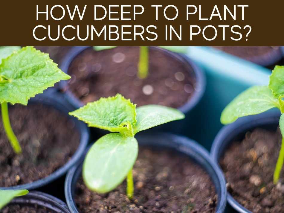 How Deep To Plant Cucumbers In Pots?