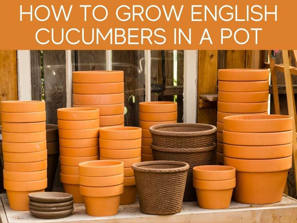How To Grow English Cucumbers In A Pot