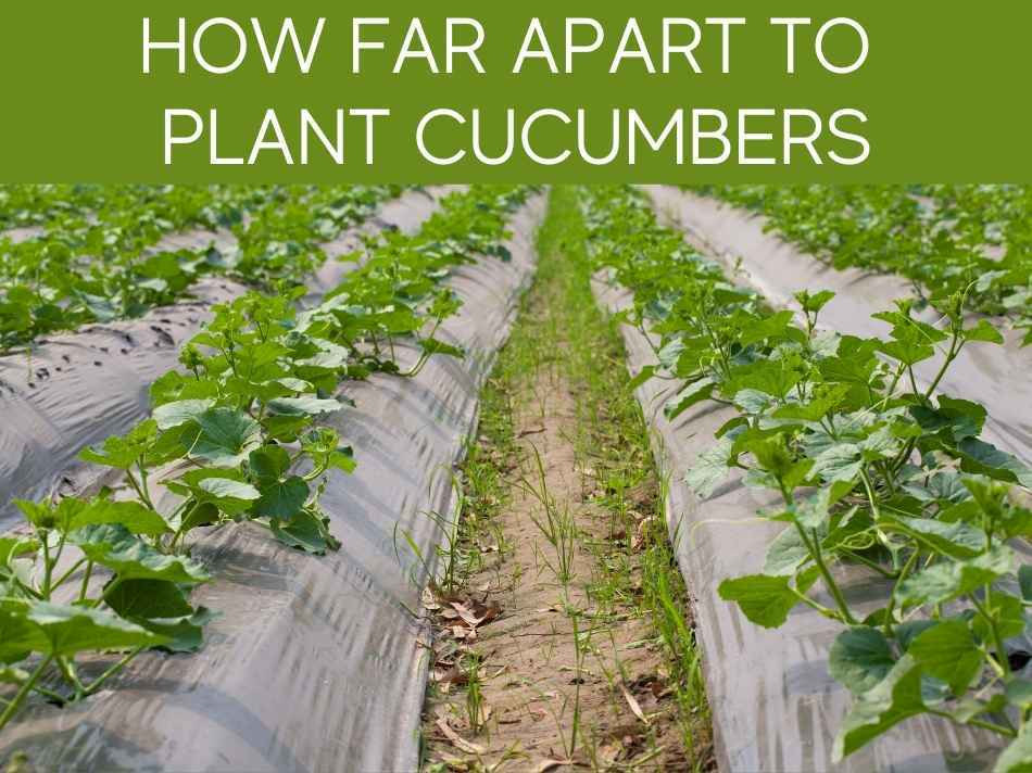 How Far Apart To Plant Cucumbers