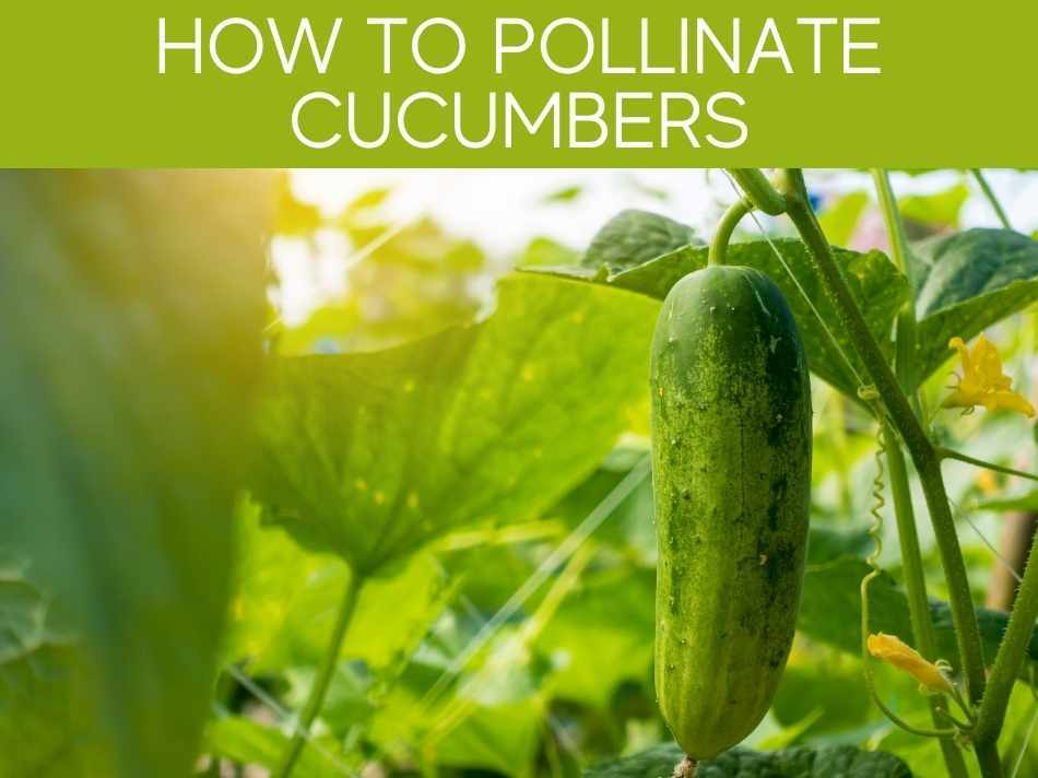 How To Pollinate Cucumbers