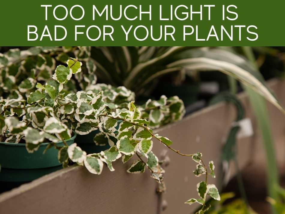 Too Much Light Is Bad For Your Plants