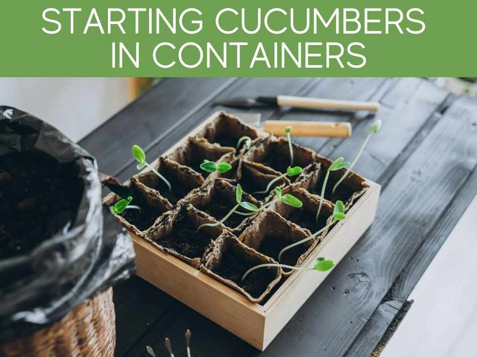 Starting Cucumbers In Containers