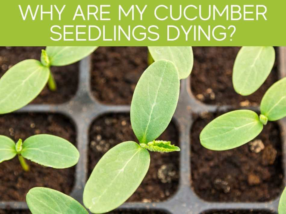 Wy Are My Cucumber Seedlings Dying?