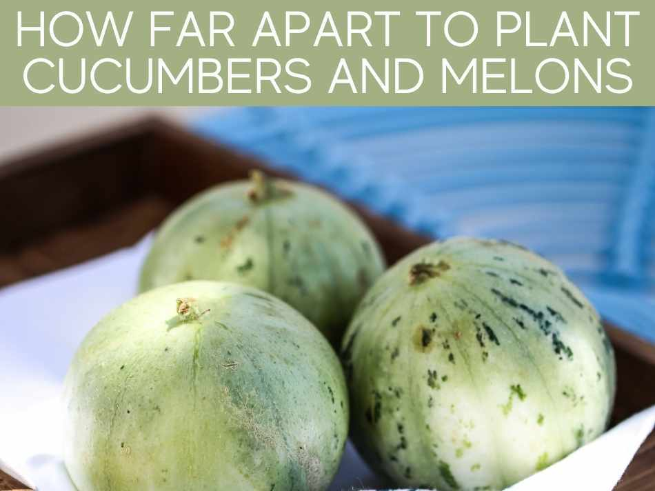 How Far Apart To Plant Cucumbers And Melons