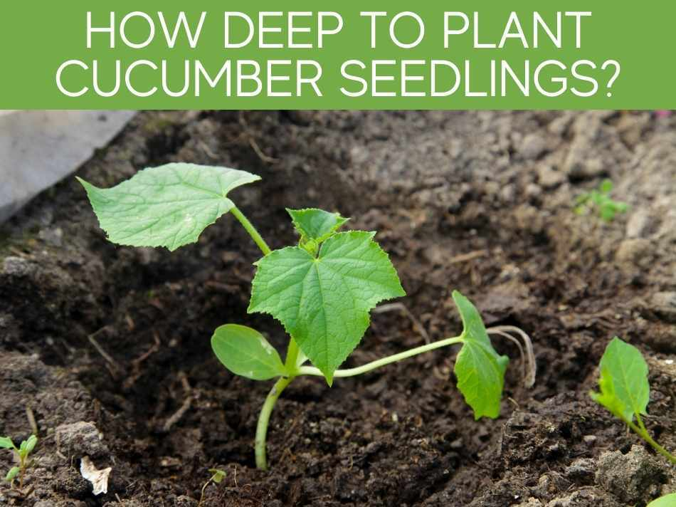 How Deep To Plant Cucumber Seedlings?