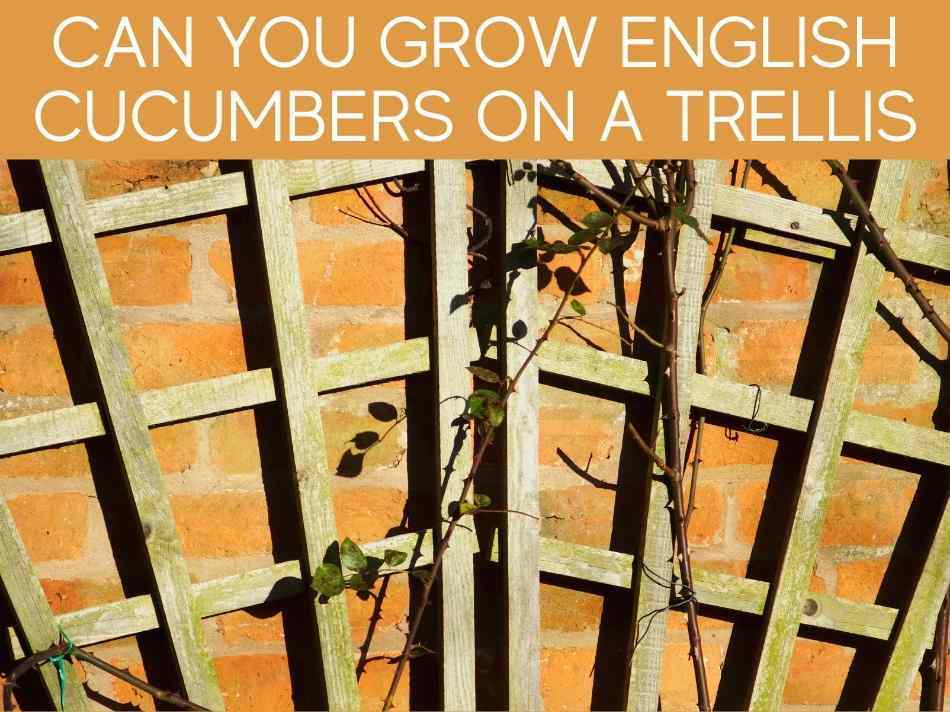 Can You Grow English Cucumbers On A Trellis