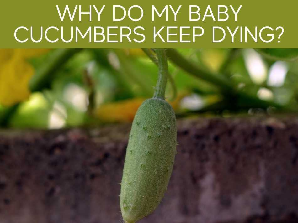 Why Do My Baby Cucumbers Keep Dying?