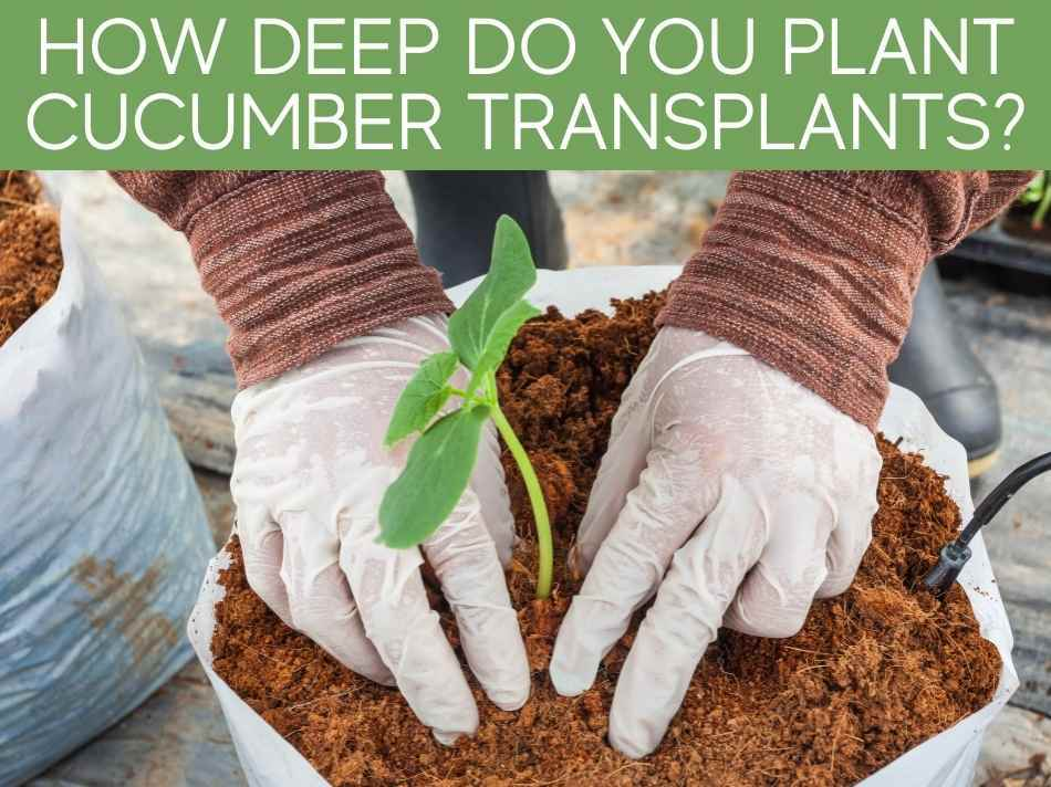How Deep Do You Plant Cucumber Transplants?