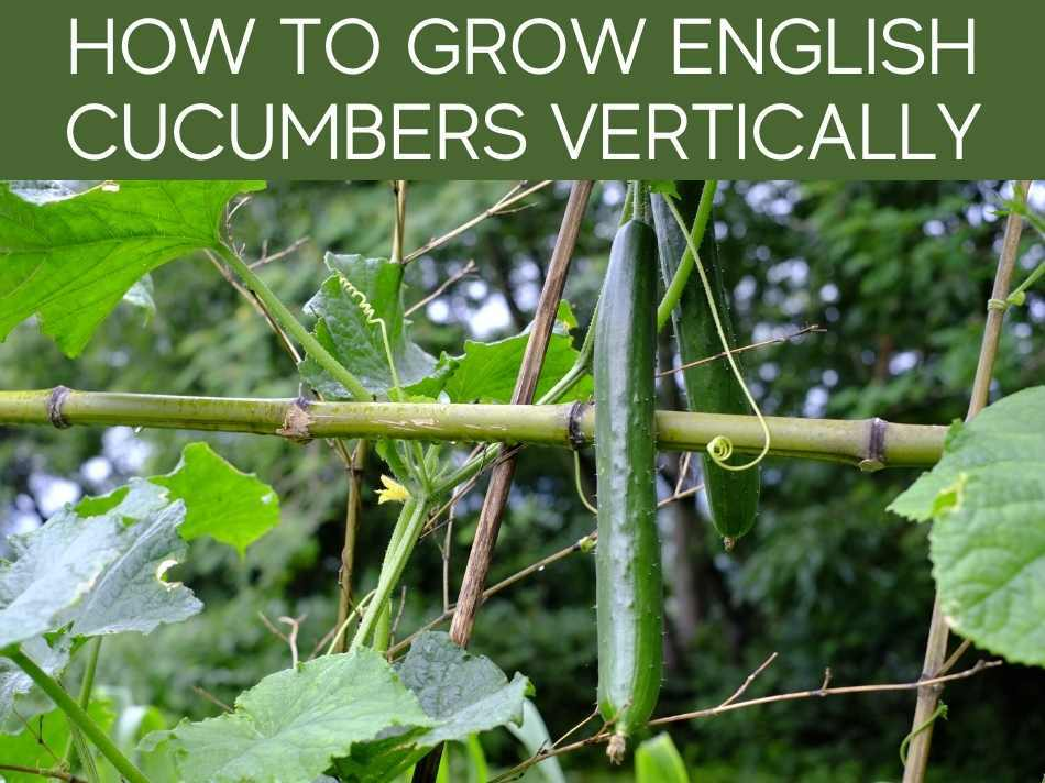 How To Grow English Cucumbers Vertically