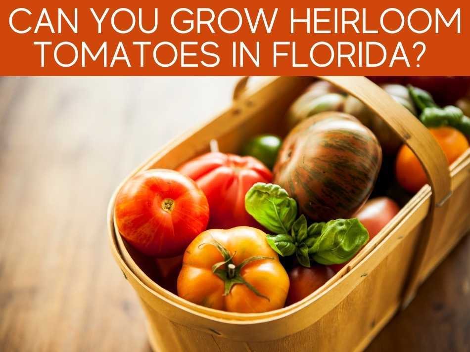 Can You Grow Heirloom Tomatoes In Florida?