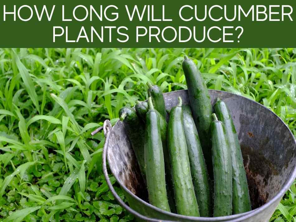 How Long Will Cucumber Plants Produce?