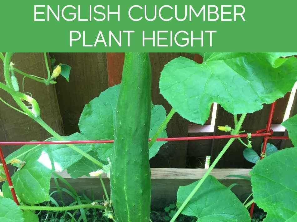 English Cucumber Plant Height