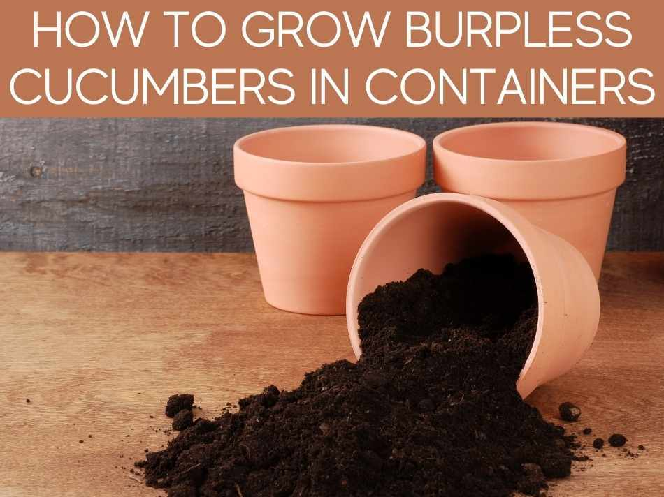 How To Grow Burpless Cucumbers In Containers