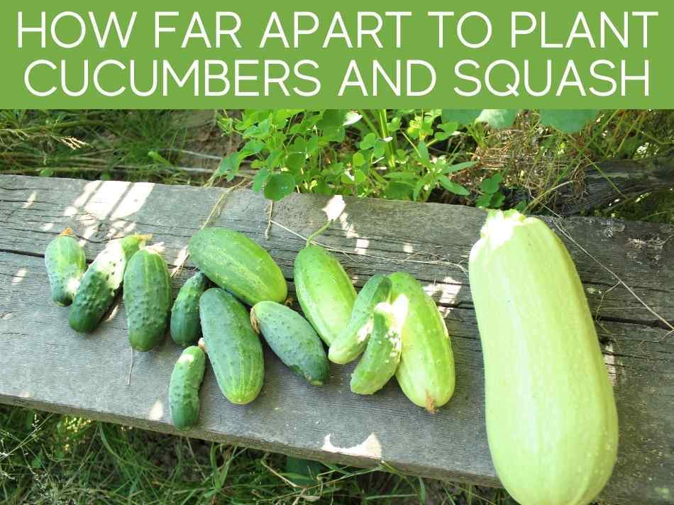 How Far Apart To Plant Cucumbers And Squash