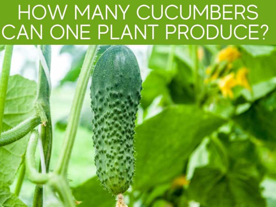 How Many Cucumbers Can One Plant Produce?