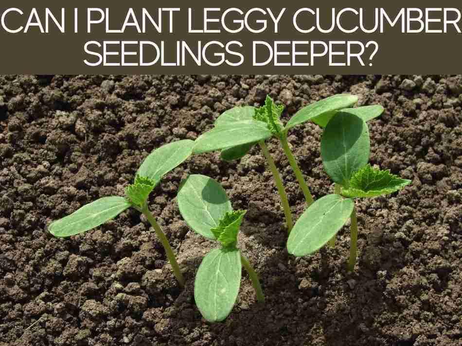 Can I Plant Leggy Cucumber Seedlings Deeper?