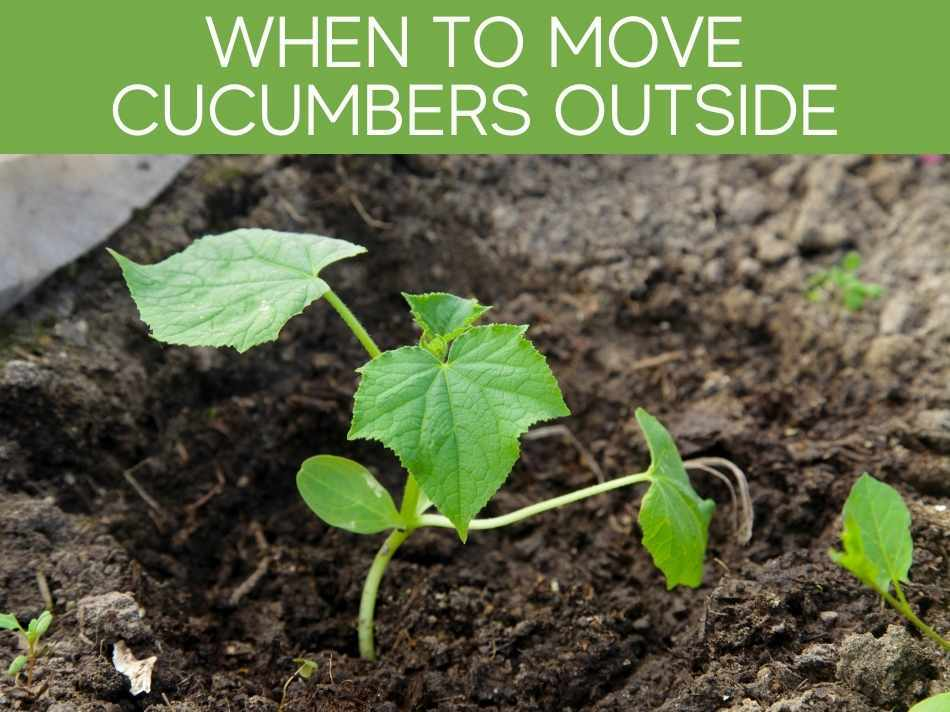 When To Move Cucumbers Outside